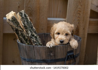 Mini Goldendoodle puppy in a bucket with logs. The F1b Mini Goldendoodle is produced by crossing a F1 Goldendoodle which is half golden retriever and half standard poodle with a mini poodle.