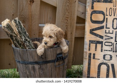 Mini Goldendoodle puppy. The F1b Mini Goldendoodle is produced by crossing a F1 Goldendoodle which is half golden retriever and half standard poodle with a mini poodle.