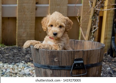 Goldendoodle Images, Stock Photos & Vectors | Shutterstock