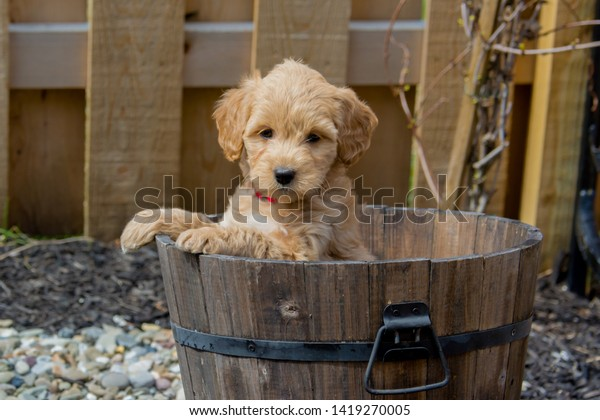Mini Goldendoodle Puppy Showing Cuteness F1b Stock Photo Edit Now 1419270005