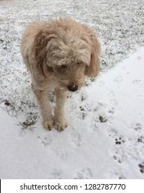 mini goldendoodle in the snow