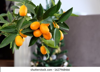 "Mini Kumquat plant and fruits at home. It is called ""Kumkuat"" or ""Kamkat"" or ""Kumkat"" in Turkish. Indoor plants."