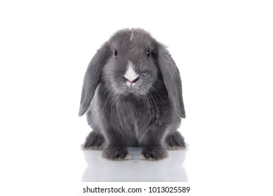 Mini lop eared rabbit isolated on white