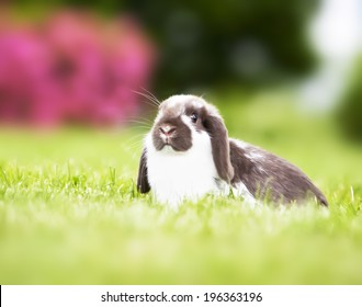 Mini lop rabbit playing in field of grass