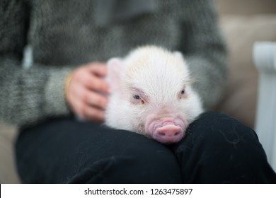 Mini Pig New Year Photography