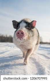 Mini pig on the walk in winter