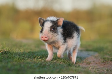 Mini pig walking outdoors in summer