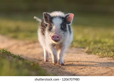 Mini pig walking outdoors in summer