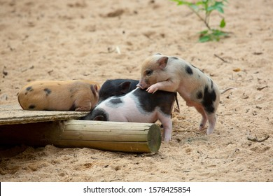 The mini pigs are playing