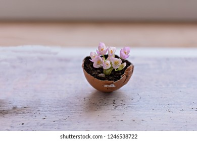 Mini pink flowers in eggshells on a wooden background/ Spring home rustic decoration/ Conceptual image of spring awakenings and new beginnings