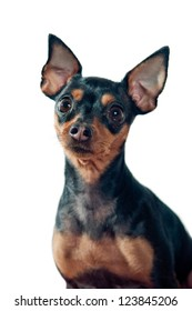 Mini Pinscher dog isolated on white background