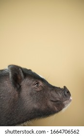 A mini pot belly pig, a profile of the head against a plain background.