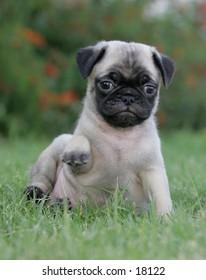 Mini pug puppy sitting