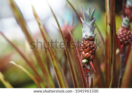 Mini Red Pink Pineapple Plant One Stock Photo Edit Now 1045961500