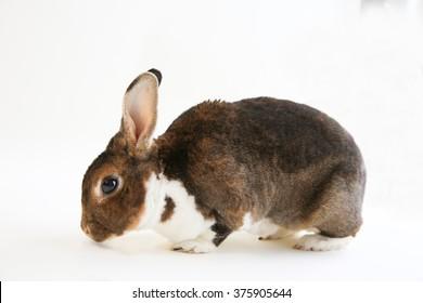 A Mini Rex rabbit isolated on white