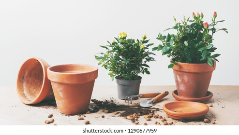 Mini Roses in ceramic flower pots and gardening tools with free space for text. Planting Roses in pot at home. Long wide banner/