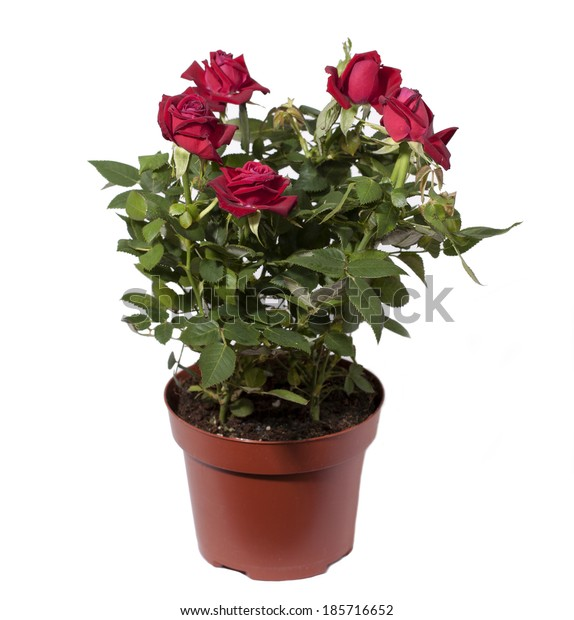 Mini roses in a pot on a white background.
