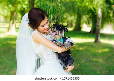 mini schnauzer on the hands of a beautiful bride in a wedding dress. beautiful smile