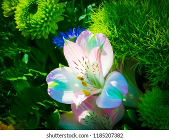 Mini white and rainbow lily blooming in sun Nature photography
