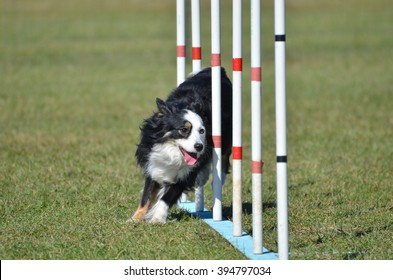 Miniature American (formerly Australian) Shepherd Doing Weave Poles at Dog Agility Trial