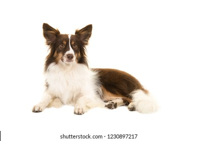 Miniature american shepherd dog lying down looking at the camera isolated on a white background