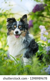 Miniature australian shepherd dog sitting under a lilac bush