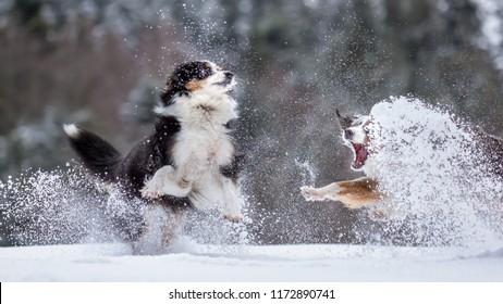Miniature Australian Shepherd Dogs, outdoors