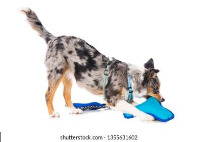 Miniature australian shepherd puppy with dog toys on white background