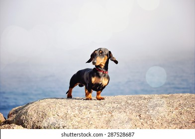 Miniature black and tan dachshund at the ocean shore standing on a rock. Toned image.