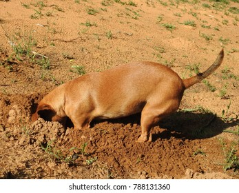 Miniature brown dog digging a hole.