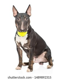 Miniature bull terrier dog with tennis ball in the mouth. isolated on white background