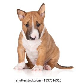 miniature bull terrier puppy posing on white background