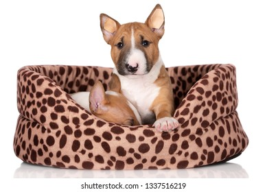 miniature bull terrier puppy resting in a dog bed