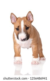 miniature bull terrier puppy standing on white background