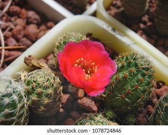 Miniature cactus Mediolobivia colorea FR1106a with flowers.