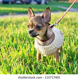 miniature chihuahua puppy  wearing knitted jacket on sunny autumn day