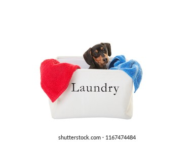 Miniature Dachshund, 4 month old, puppy in a laundry basket of towels on white background.