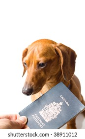 A miniature Dachshund, being handed a Canadian passport, isolated on white.