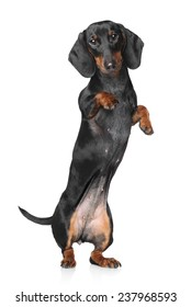 Miniature dachshund dancing on white background