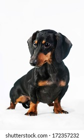 Miniature dachshund isolated on white