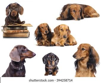 Miniature dachshund longhaired and dachshund