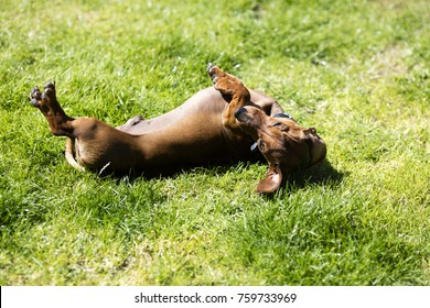 miniature dachshund on back