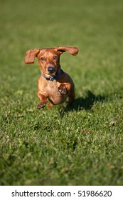 A miniature Dachshund running towards the camera, surrounded by grass.