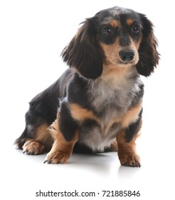 miniature dachshund sitting looking at view on white background