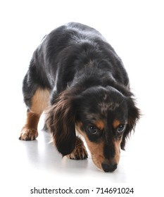 miniature dachshund sniffing the ground on white background