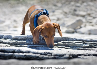 A miniature Dachshund sniffing a rocky ledge, wearing a blue harness.
