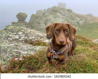 Miniature Dachshund in thick fog