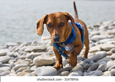 A miniature Dachshund trying to navigate the shores of a rocky beach.  Bruce Peninsula on the shores of Georgian Bay, Ontario, Canada