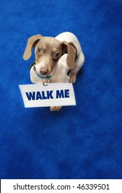 """Miniature Dachshund with """"walk me"""" sign as collar on blue carpet."""