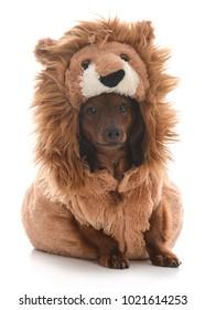 miniature dachshund wearing lion costume on white background